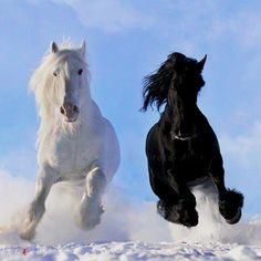 white shire horse and black friesian stallion- beautiful horses All The Pretty Horses, Beautiful Horses, Animals Beautiful, Beautiful Creatures, Black Horses, Wild Horses, Dark Horse, Horse Photos, Horse Pictures