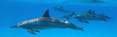 Endangered Dolphins: Endangered Dolphins  Although wild dolphins face many natural dangers within the deep expanse of the ocean, the most overwhelming threat to their existence is man.