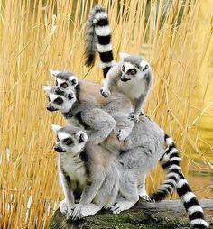 Ring tailed lemurs.