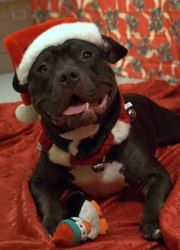 BEEFCAKE is an adoptable Pit Bull Terrier Dog in Boston, MA. Hello - My Name is Beefcake! 3 years old Neutered Male Pit Bull Mix Aside from being a total hunk, I am a very sweet natured kind hearted b...