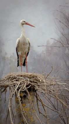 White Stork breeds in open farmland areas with access to marshy wetlands, building a large stick nest in trees, on buildings, or on purpose-built man-made platforms. Each nest is 3.3–6.6 ft in depth, 2.6–4.9 ft in diameter, and 130–550 lbs in weight. Nests are built in loose colonies. Not persecuted as it is viewed as a good omen, it often nests close to human habitation; in southern Europe, nests can be seen on churches and other buildings.