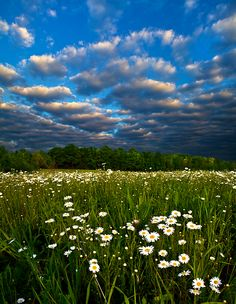 daisies      by       phil-koch