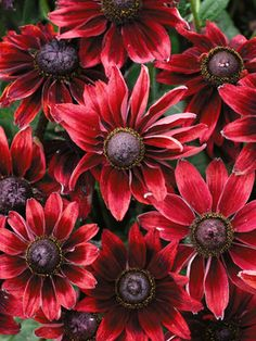 """Rudbeckia hirta Cherry Brandy  Gloriosa Daisy  Type: Perennials  Height: Medium 24"""" (Plant 12"""" apart)  Bloom Time: Early Summer to Early Fall  Sun-Shade: Full Sun  Zones: 5-8   Find Your Zone  Soil Condition: Normal  Flower Color / Accent: Red / Red  A welcome color addition - deep maroon red with a dark chocolate center. Flowers are 3-4"""" across and produced all summer, even in poor soils."""