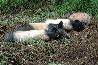 Weideschweine liegen auf Feld