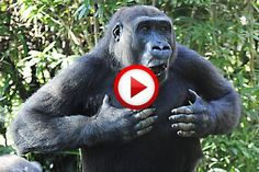 Cadburys Dairy Milk Gorilla Advert Video #animals, #commercials, #music, #funny, #monkeys, #videos, #pinsland, https://apps.facebook.com/yangutu