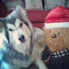 Cute Malamute dog and Chewbacca