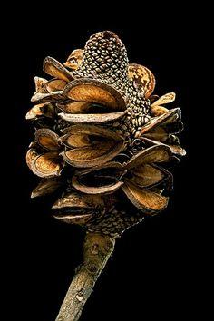 Banksia pod Australian Wildflowers, Australian Native Flowers, Australian Plants, Protea Art, Australian Native Garden, Native Australians, Nature Journal, Flower Aesthetic, Little Plants