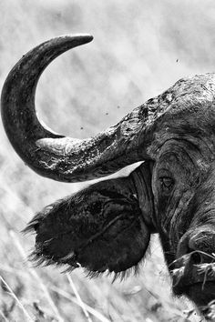 Cape Buffalo Portrait by Jitendra Sharma, African Animals, African Safari, African Buffalo, Photo Portrait, Animals Of The World, Fauna, Wildlife Art, Black And White Pictures, Nature Animals