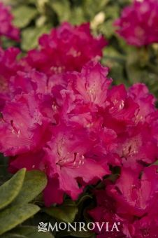 Monrovia's Hellikki Rhododendron details and information. Learn more about Monrovia plants and best practices for best possible plant performance.
