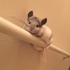 """are you ok?#chinchilla"""