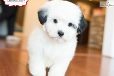 You'll love this Male Shih-Poo - Shihpoo puppy looking for a new home.