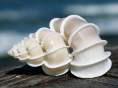 Wentletrap Shells are notable for their intricately geometric shell architecture, and the shells of the larger species are prized by collectors. Would be interesting material for future paintings of shells. My upcoming Limited Edition Set is coming 11/27! http://robertbdance.com/shellcollection.html