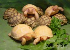 albino sulcata babies