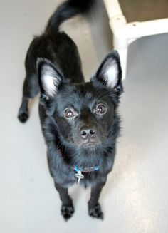 Smokey is a 1 year old, 17lb. Schipperker mix. This little guy may be the dog of your dreams.  He has all amazing traits.  Smokey is sweet, friendly, smart and well-behaved.  He will sit when he first meets you to show you what a good boy he is.  He has been getting along with all of the other dogs at our facility and does not appear to have mean bone in his cute little body.