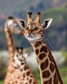 Ce créatif imagine un monde absurde où tous les animaux ont le visage d'un chat Cute Funny Animals, Funny Cats, Photoshopped Animals, Animal Mashups, Animal Species, Animal Heads, Cat Face, Cat Memes, Giraffe