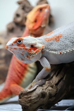 Exotic pets 828732768917920953 - This post is about one of the most popular lizards in the pet trade – the bearded dragon. But while it is one of the most rewarding lizards you can keep as a pet, it is also one of the most sensitive. Cute Reptiles, Reptiles And Amphibians, Cute Little Animals, Cute Funny Animals, Funny Pets, Cute Lizard, Bearded Dragon Cute, Pet Names, Exotic Pets