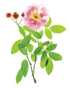 This diverse category contains roses of mixed heritage that don't clearly fit…