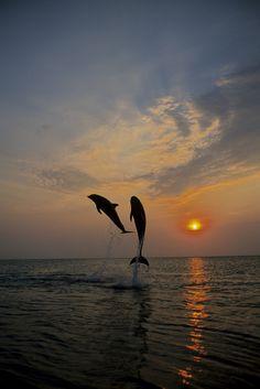 Pair of Bottle Nose Dolphins Jumping @ Sunset Roatan Honduras