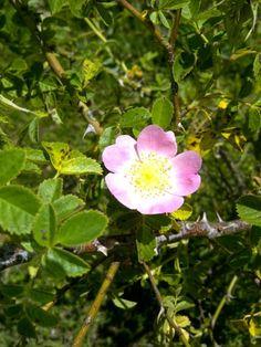 Rosa especie o canina. Se reproduce sola en el campo