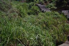 Elymus condensatus Giant Wild Rye.