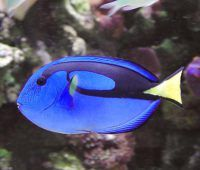 BlueTang Paracanthurus Hepatus Butterfly House, Tropical Birds, Salt And Water, Ocean Life, Dory, Farm Animals, Fish, Image, National Geographic