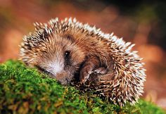 Hedgehogs These spiny little animals have been around for millions of years and are primarily found in Asia, Africa, Europe and New Zealand. They curl into little balls to protect themselves from predators, but smaller ones may try to scamper away. Hedgehogs mostly feed on just about anything: bugs, frogs, snakes, berries.