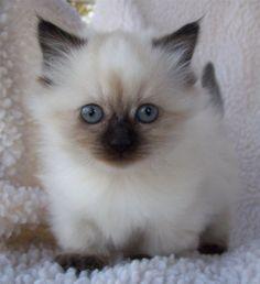 Napoleon kitten