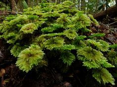 Umbrella Mosses or Hypnodendron is a genus of large dendroid (tree-like) mosses, common in New Zealand