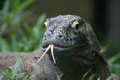Image result for komodo dragon tongue