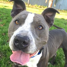 Update May 2015: My name is Rupert and I'm ADOPTED!! I'm a playful and affectionate 1 1/2 year old boy. I'm quite the ball dog, and I love playing with the flirt pole too! If you sit down near me, I'll be in your lap in no time! I was a longest term resident at OAS.
