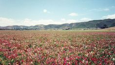 Lompoc, California  Field of Flowers