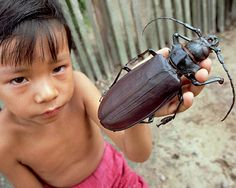 The Amazon rain forest is home to many large beetles, but none of them compares in length to the titan beetle. #insects #animals