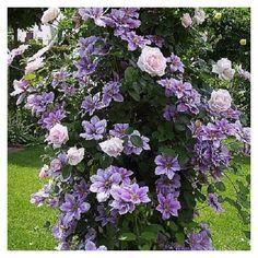 Clematis Care, Clematis Trellis, Clematis Flower, Garden Trellis, Garden Plants, Clematis Nelly Moser, Climbing Clematis, Climbing Roses, New Dawn Climbing Rose