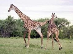 kickboxing giraffe