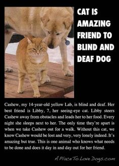 """Cat is amazing friend to blind and deaf dog."" Cat and dog adorable photography Animals And Pets, Funny Animals, Cute Animals, Crazy Animals, Crazy Cat Lady, Crazy Cats, I Love Cats, Cute Cats, Funny Kitties"