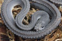 Xenodermus Javanicus - Dragon Snake