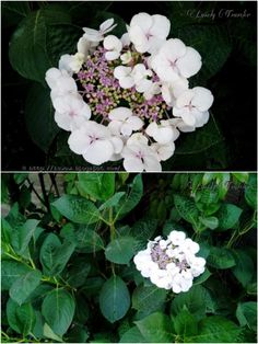 Mountain Hydrangea (মাউন্টেন হাইড্রেঞ্জিয়া) - Hydrangea Macrophylla ssp