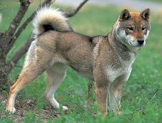 Shikoku Ken (Shikoku Dog) / Japanese Dog. Highly intelligent dog just like the Akita and the Shiba Inu.