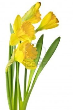 daffodil images - Google Search