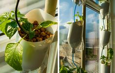 Window Farms. An urban form of agriculture designed to grow plants in homes with recycled materials.
