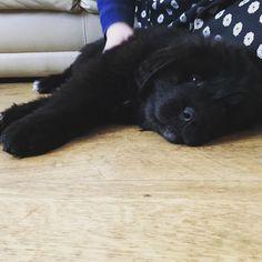 Picked up Indie the Newfoundland puppy today. http://ift.tt/2yVfS16 #NewfoundlandDog