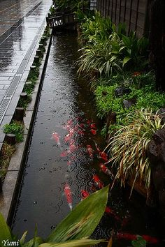 Stunning Koi Environment, And Check Out The Raindrop patterns...  Explore * Yumi *'s photos on Flickr.