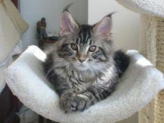 Maine Coon Kitten Googlforhttp://www.tuftsnruffmainecoons.com/images/shawneeIMG_1087shawnee-dakota.jpg