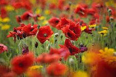Poppies pic #flowers
