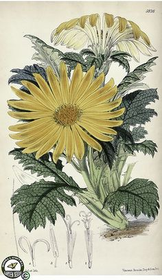 Paranephelius uniflorus. Bright yellow daisies, with white undersides. Leaves toothed, and heavily textured. An alpine plant, growing in screes at altitudes of 14,000-16,000 feet in central Peru. (1870)