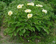 Plant Gallery - Encyklopedia Roślin: Paeonia species and varieties, photos, Pictures - Piwonia gatunki i odmiany, zdjęcia