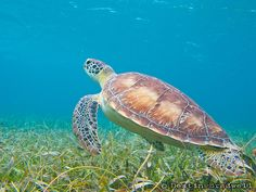 Green sea turtles are rarely seen on land, but when they do make it to shore, they can stop traffic – beach traffic that is