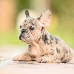 French Bulldog puppy for sale in FORT LAUDERDALE, FL. ADN-59044 on PuppyFinder.com Gender: Female. Age: 13 Weeks Old