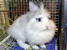PACIFIC Bunny Rabbit • Baby • Male • Medium The Humane Society for Tacoma and Pierce County Tacoma, WA
