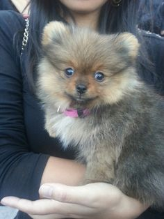 Sweet pomeranian puppy!